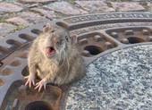 Huy động đội cứu hộ để giải cứu...chuột mắc kẹt nắp cống