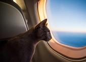 Máy bay quay đầu vì mèo tấn công phi công