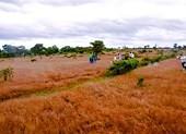 FLC xin làm sân golf trên đồi cỏ hồng ở Gia Lai