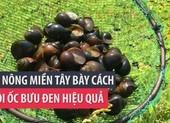 Lão nông miền Tây bày cách nuôi ốc bươu đen hiệu quả