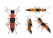 Nọc độc của kiến ba khoang mạnh gấp 10 lần nọc rắn hổ