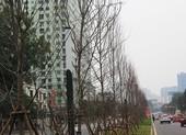 Hà Nội thay cây xanh héo lá sau hai năm thử nghiệm