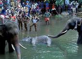 Vụ voi mang thai chết đau đớn: Bộ Môi trường Ấn Độ lên tiếng