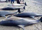 Cá heo chết hàng loạt dạt vào bờ biển