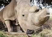 Thụ tinh thành công trứng của tê giác trắng cuối cùng
