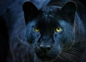 Phát hiện loài báo 100 năm mới ló dạng ở châu Phi