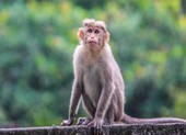 Mỹ tìm ra loại vaccine bảo vệ khỉ khỏi COVID-19