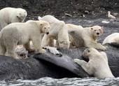 Gấu Bắc Cực khó tránh khỏi tuyệt chủng