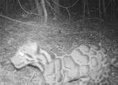 Phát hiện loài báo hiếm sau 20 năm biệt tích
