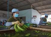 Hàng triệu tấn xoài, chuối, sầu riêng...miền Tây cần người mua