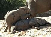 Đáng yêu xem voi con tìm cách đánh thức voi anh đang ngái ngủ