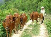 Vụ thu phí trâu bò ở Thanh Hóa: Hoàn trả tiền cho dân