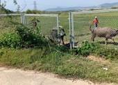 Cao tốc Đà Nẵng - Quảng Ngãi bị tháo rào chắn để trâu bò đi