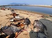 Cá chết hàng loạt dọc bờ biển Đà Nẵng do nước xả thải