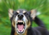 Bé 2 tuổi bị chó béc giê hàng xóm cắn hỏng mắt nguy kịch