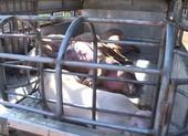 Phát hiện thương lái xẻ thịt lợn chết để bán kiếm lời