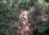 Khởi tố người dẫn 17 thanh niên phá hơn 91 m3 gỗ rừng