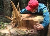 Rừng Quảng Nam lại bị chặt phá không thương tiếc