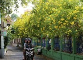 Huỳnh liên nở rộ nhuộm vàng dọc đường ray ở Sài Gòn