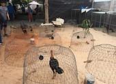 Bắt trường đá gà ăn tiền núp bóng trong quán cà phê