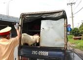 Xe 'luồng xanh' chở 41 con dê chưa kiểm dịch bị chặn ở ngã tư Bình Phước