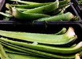 Những loại thảo mộc giúp chống đau khớp