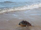 Thả con rùa cực quý về biển