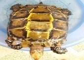Được trả 300 triệu/kg, ngư dân vẫn thả rùa 3kg về sông