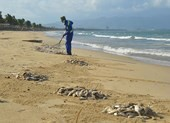 Đà Nẵng: Cá chết trắng bờ biển nghi do nổ mìn đánh cá
