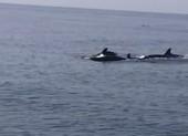 Video: Ngắm đàn cá heo hàng trăm con ở bờ biển Hội An