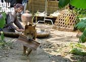 Cậu Vàng: Chú chó đầu tiên nhận vai chính của điện ảnh Việt