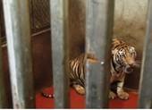 Bắt tạm giam 1 bị can trong vụ nuôi nhốt 17 con hổ dưới hầm