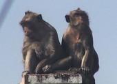 Quận 12: Kiểm lâm lên phương án bắn thuốc mê đàn khỉ 'đại náo'