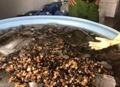 TP.HCM: 1,3 tấn ốc ngâm hóa chất công nghiệp trước khi bán