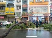 Mối nguy từ cây đổ do bật gốc trong mùa mưa