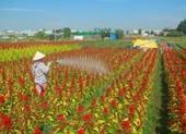 Giá hoa tết tăng, làng hoa TP.HCM phấn khởi