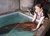 Cá leo 'khủng' hơn 80 kg dính câu