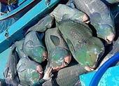 Tìm ra con tàu đánh cá đầu gù quý hiếm đưa lên Facebook