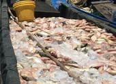 Đã tìm ra nguyên nhân gần 1.000 tấn cá bè sông La Ngà chết