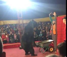 Gấu tấn công huấn luyện viên xiếc khi đang biểu diễn