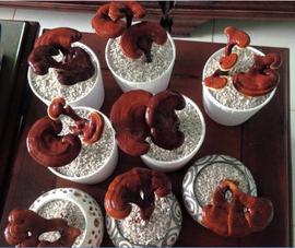 'Hô biến' lúa, nấm thành cây kiểng độc chưng tết
