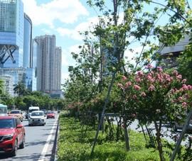 Di dời hàng cây phong lá đỏ trên phố Nguyễn Chí Thanh – Trần Duy Hưng