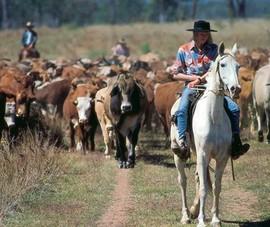 Người Việt sang Úc mua trang trại nuôi bò