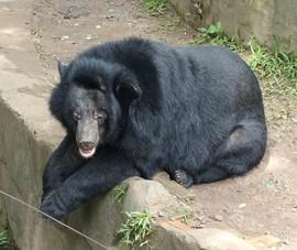 Nỗ lực giải cứu 2 gấu ngựa ở Lâm Đồng