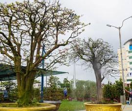 Video: Ngắm cây mai cổ thụ tiền tỉ tại Hội hoa xuân