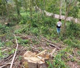 Dọn cây khu di tích Mỹ Sơn sau bão, cưa nhầm cây dân trồng