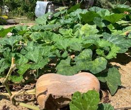 Bí ngô, món ngon vườn nhà trồng được