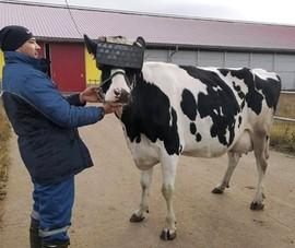 Cho bò đeo kính thực tế ảo để... 'giảm căng thẳng'