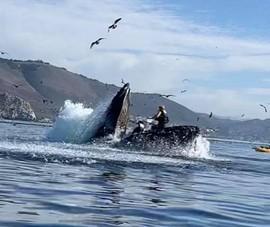 Video: 2 tay chèo kayak suýt bị cá voi lưng gù nuốt chửng