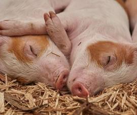 Nhóm khoa học Nhật: Lợn có thể hấp thụ khí ôxy qua hậu môn